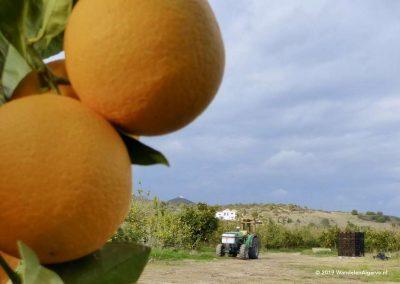 Farmer harvesting the oranges